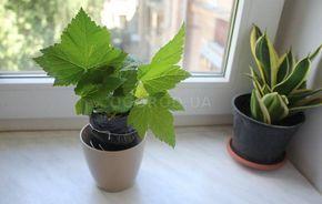 Смородина летом - размножение зелеными черенками