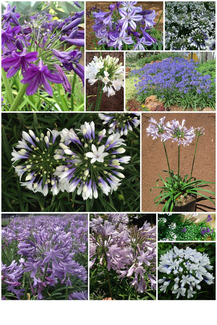 Various Agapanthus bred and stocked at CND Nursery (Twister, Buccaneer, Sugar Plum, Early Mauve, Bingo White, Etc)