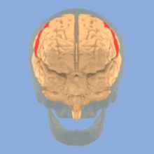 Postcentral gyrus - Primary somatosensory cortex