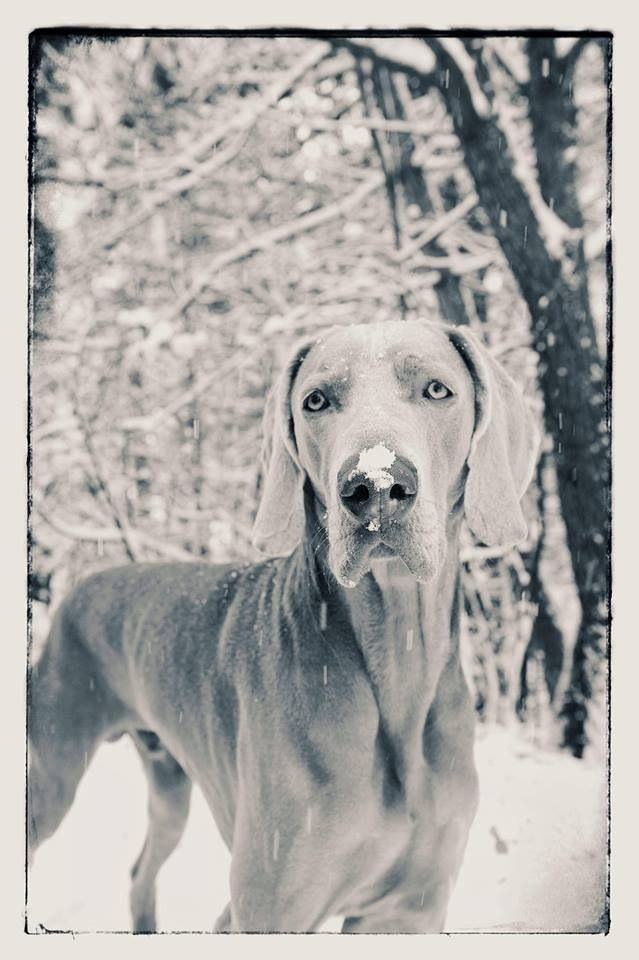 Winter...awesome photo Weimaraner puppy dogs