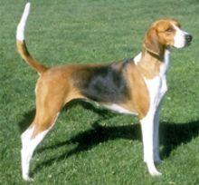 American Foxhound -