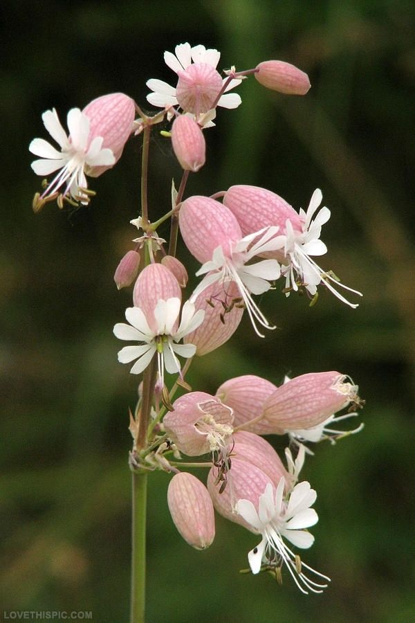 Pink Campion Flower flower pink white garden unusual campion