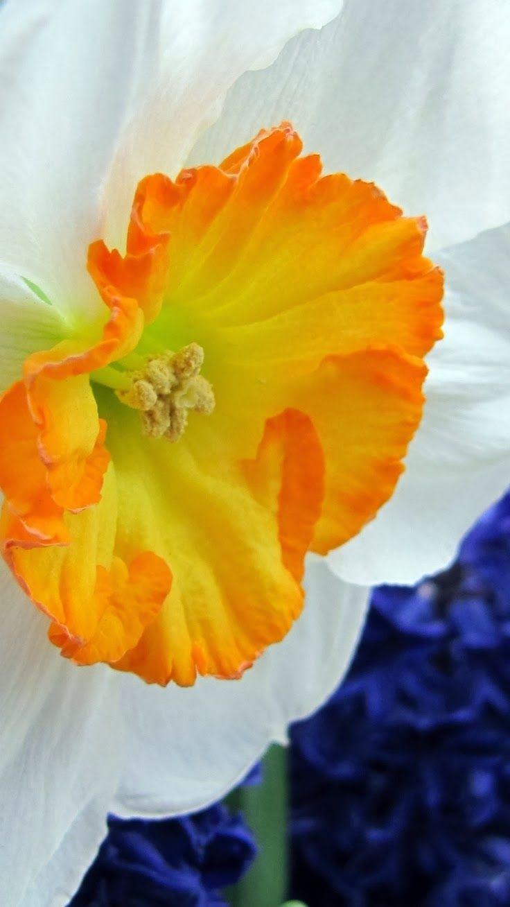 642 best flowers images on pinterest beautiful flowers exotic daffodil macro real flowerspretty mightylinksfo