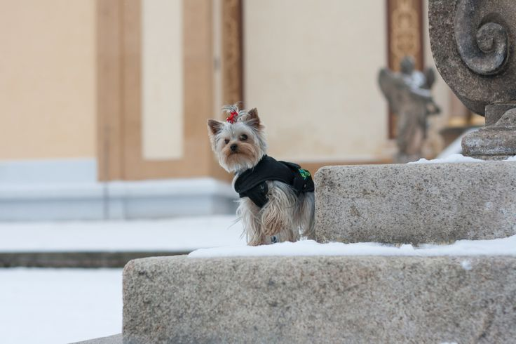 Small Yorkie - Small Yorkshire Terrier posing on the stairs