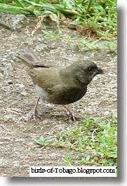 Black-faced Grassquit  http://birds-of-tobago.blogspot.com/2013/10/black-faced-grassquit.html  #Black-faced Grassquit #grassquit