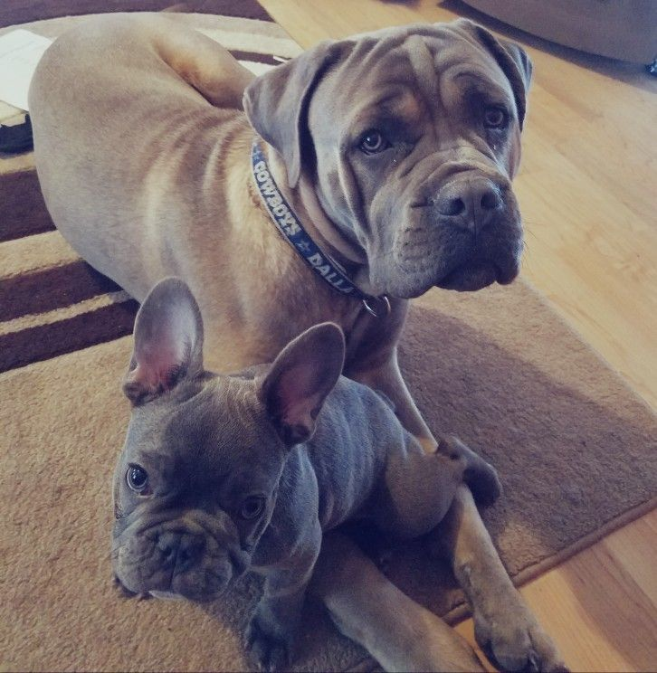 French Bulldog And Cane Corso Best Friends They Are Inseparable