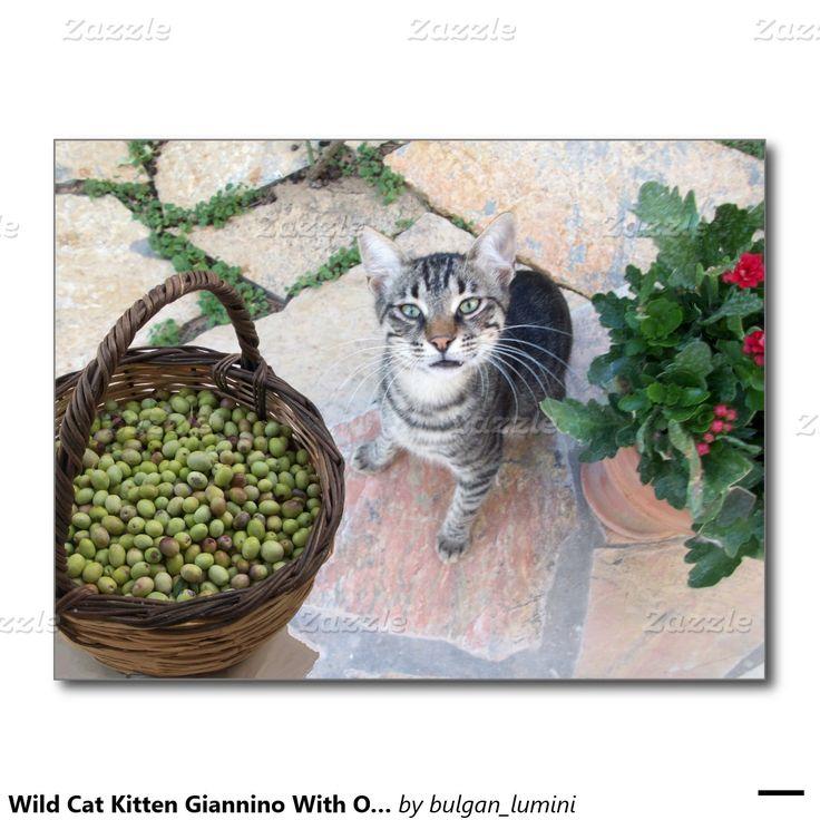 Wild Cat Kitten Giannino With Olive Chest Postcard