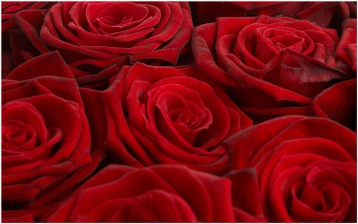 Rose Flowers Background Wallpaper | rose flower background wallpaper, rose flowers background pictures