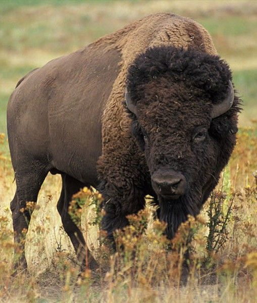 American Buffalo,                                     rightly called American Bison