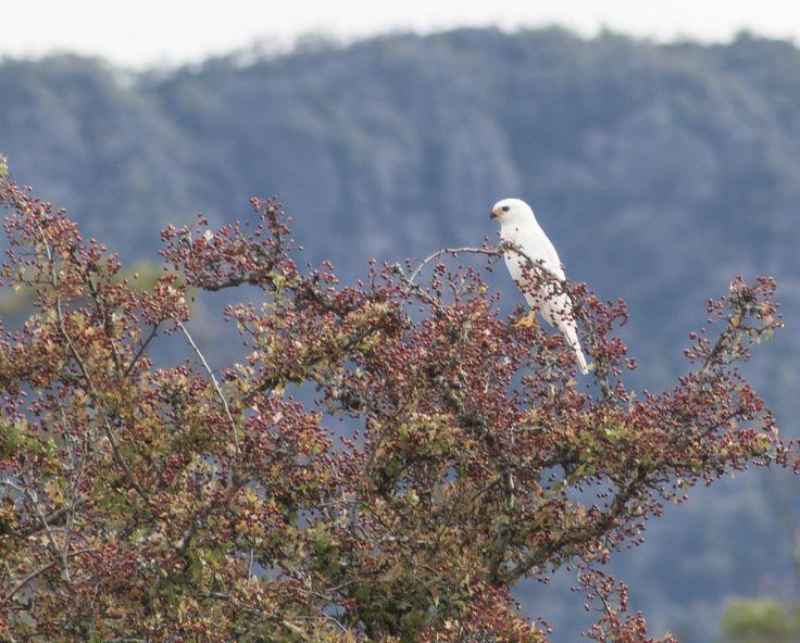 White Morph Grey Goshawk by EVM Pet and Nature Photography | Deloraine, Tasmania
