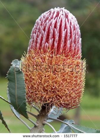 Banksia Menzies - A native Australian flower by Joanne Harris and Daniel Bubnich, via ShutterStock