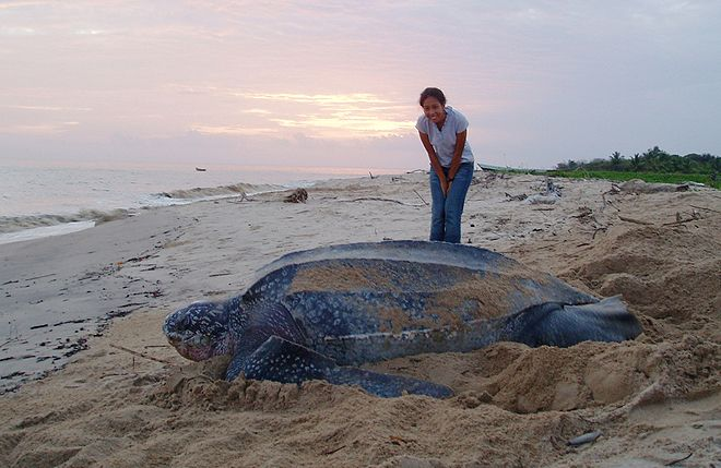 Sea Turtle GPS Shows Ocean-Spanning Leatherback Buffet - Wired Science
