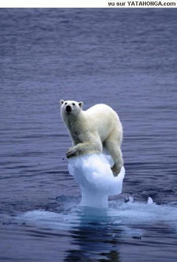 De opwarming van de aarde wordt het einde van de ijsbeer ....
