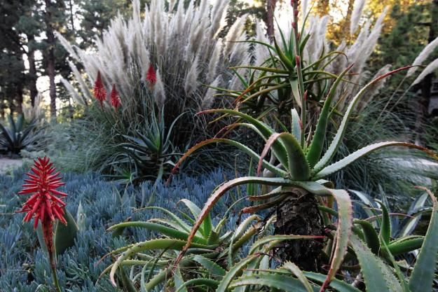 Love love love blue chalk fingers aloes and ornamental for Low ornamental grasses