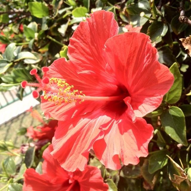 La flor del árbol hibiscus de la entrada de mi casa.