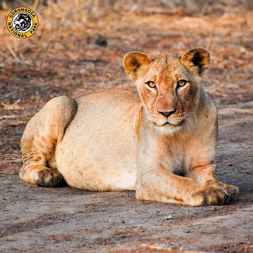 PIN this photo if you want these beautiful eyes staring back at you on a Gorongosa safari!  Learn more about Gorongosa's lions: http://www.gorongosa.org/explore-park/wildlife/lions-gorongosa  Thanks to Michael Paredes for this stunning photo!