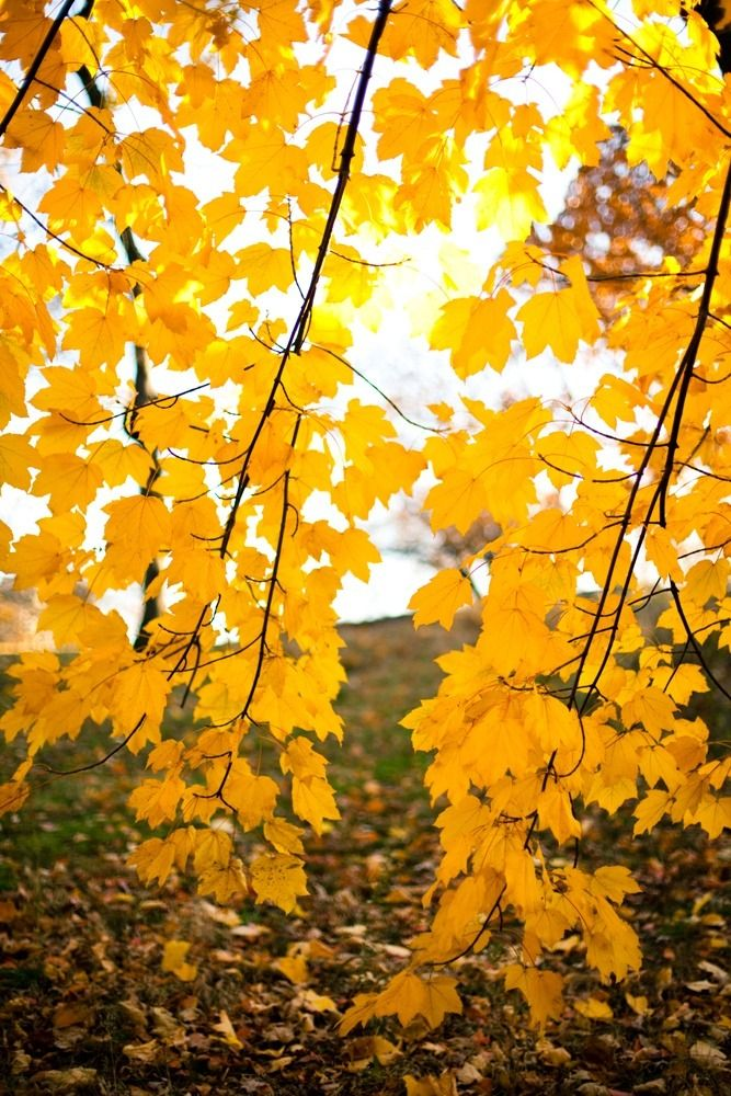 Maple Leaves Hanging Down Golden Fall Leaves Falltrees Autumntrees Fallcolors Nature Landscape Autumn Trees Nature Yellow Leaves