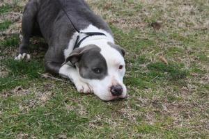 *** GREAT NEWS! *** I HAVE BEEN ADOPTED!!! Sheba is an adoptable Pit Bull Terrier Dog in Conway, AR. Sheba is a spayed female Pitbull type dog. She is approx 2 yrs old and weighs 45lbs. She has a beautiful white and blue spotted smooth coat.