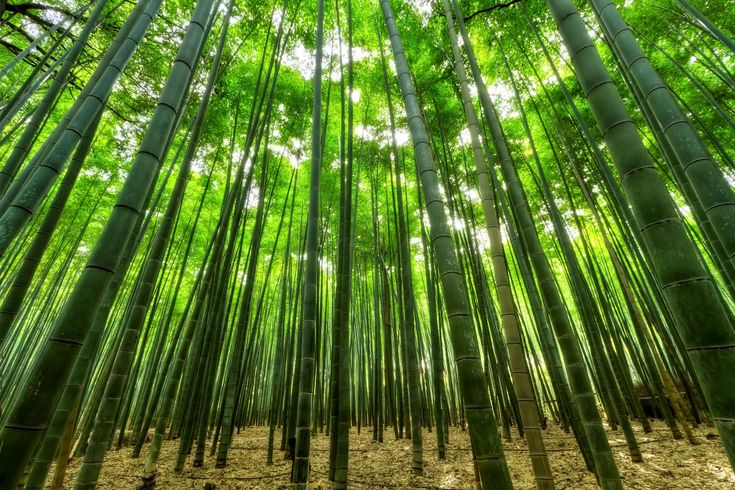 #aforestation #bamboo #bamboo trees #green #growth #jungle #nature #nature wallpaper #perspective #slender