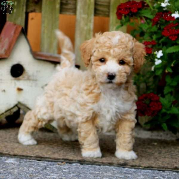 Eric Bich Poo Puppy For Sale In Pennsylvania Puppies Puppies For Sale Poodle Mix