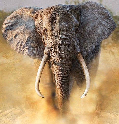 African elephant: African Elephant, Amazing Elephants, Africans Elephants, Elephants Ears, Animal Art, Elephants Faces, Elephants Parties, Elephants Safari, Charging Elephants