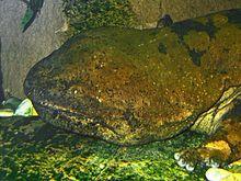 Salamandre géante de Chine — Wikipédia