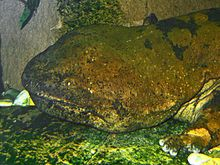 Chinese giant salamander -The Chinese giant salamander (Andrias davidianus) is the largest salamander and largest amphibian in the world, reaching a length of 180 cm (6 ft), although it rarely – if ever – reaches that size today. It is endemic to rocky mountain streams and lakes in China, as well as Taiwan probably as a result of introduction[2]. It is considered critically endangered due to habitat loss, pollution, and over-collecting, as it is considered a delicacy and used in folk…
