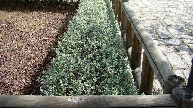 Teucrium fruticans L. (olivillo). Arbusto perenne pequeño de unos 0,5 a 2 m. de altura. Característico por su follaje grisáceo y su floración en verano, también puede darse una floración invernal.  Exposición a pleno sol, resistente a las heladas y las altas temperaturas, siendo muy resistente a la sequía.  Por todo ello, es muy utilizado en jardinería en setos formales y libres, grupos y ejemplares aislados, y también en topiaria.