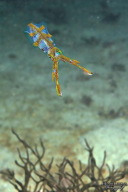 Bigfin Reef Squid , Sepioteuthis