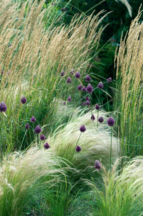 love the feathery combo:  Calamogrostis Overdam, Stipa tenuissima and Allium sphaerocephalon blend with Polygonum scoparium.