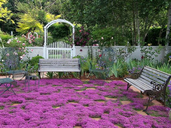 Check out my gardening board :) Creeping Thyme ground cover 1000 seeds, fragrant herb, perennial in zones 4 to 9, sun or light shade, deerproof, Thymus serpyllum.