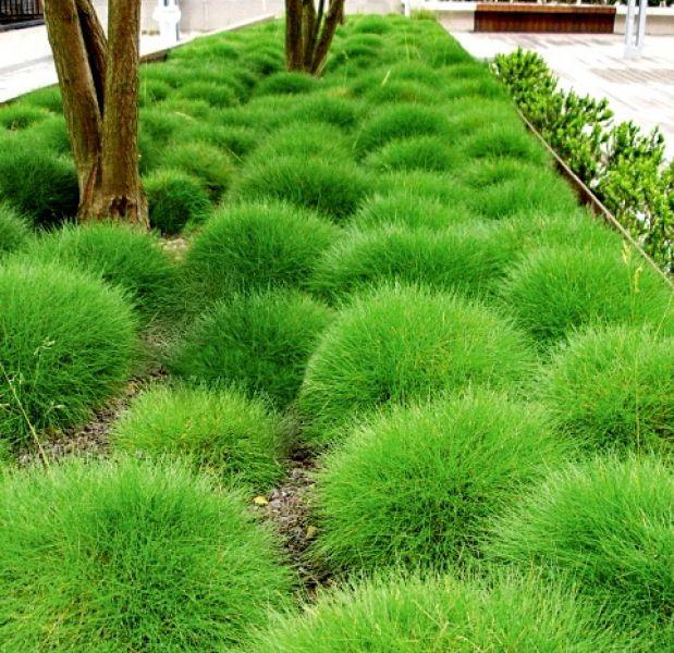 Kostrzewa gautiera pic carlit z j z ac festuca for Modern ornamental grasses