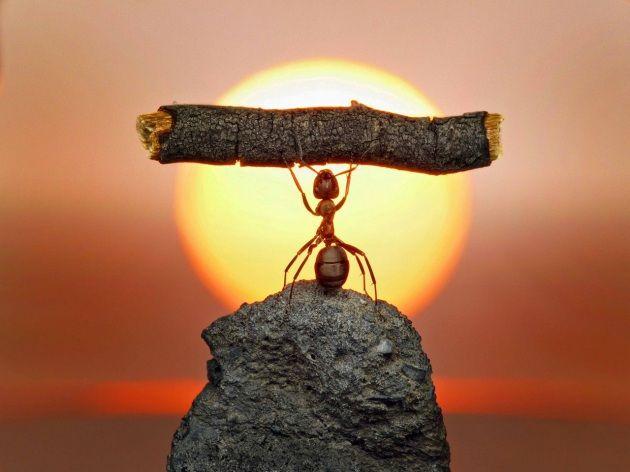 Una formica si allena al tramonto facendo sollevamento pesi. L'incredibile macro è opera del fotografo russo Andrey Pavlov, che ha realizzato decine di curiosi scatti agli insetti impegnati in insolite attività nel giardino della sua casa a Mosca.