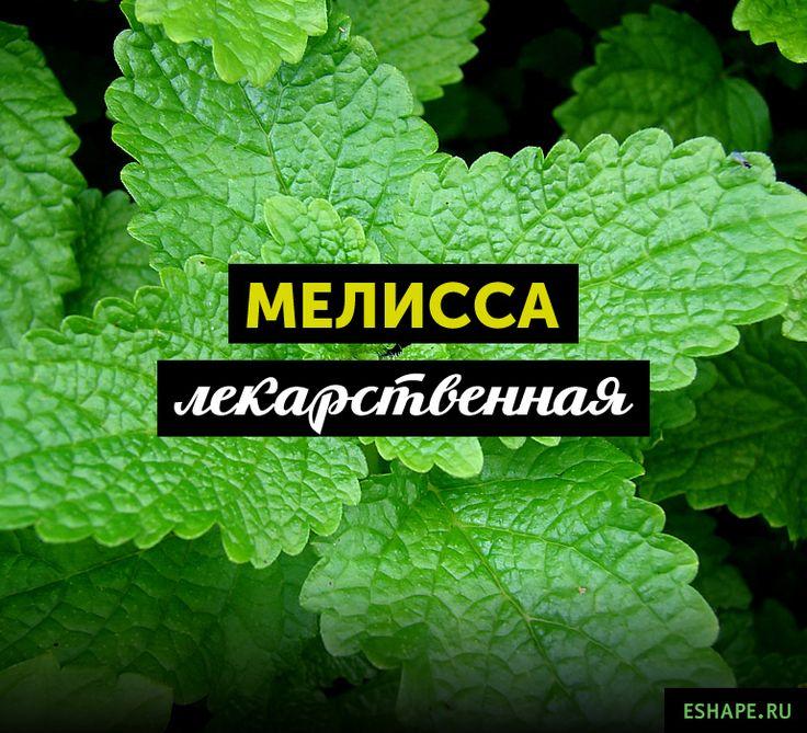 Мелисса лекарственная: полезные свойства и противопоказания
