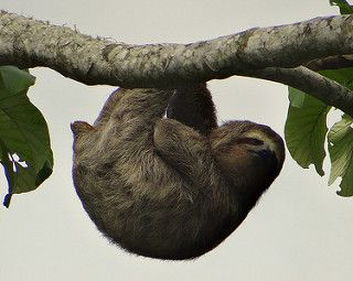 Pereza de tres dedos [Sloth] (Bradypus variegatus flaccidus) (♂) | by…