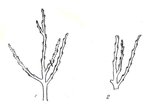 Рис. 72. Укорачивание ветки на внутреннюю почку: 1 - при обрезке; 2 - на следующий год после обрезки