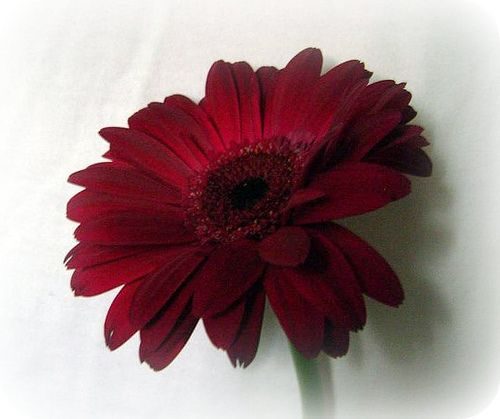 Burgundy Gerbera Daisies For Burgundy Wedding Scheme