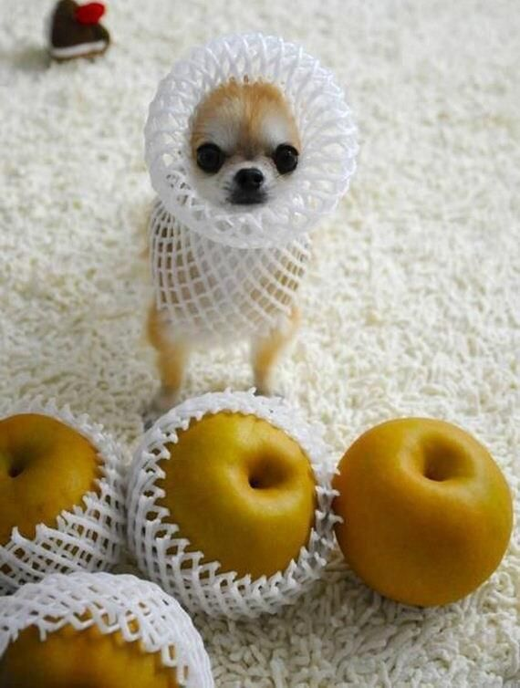 Perfect fit! by DanaDanger, twitter.com #dog #apple