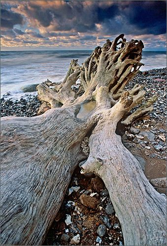 Driftwood - legs of the giant sleeping with toes spread out towards the sea