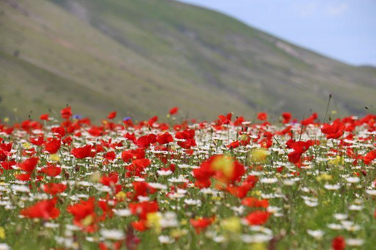 Poppies, Marguerites...