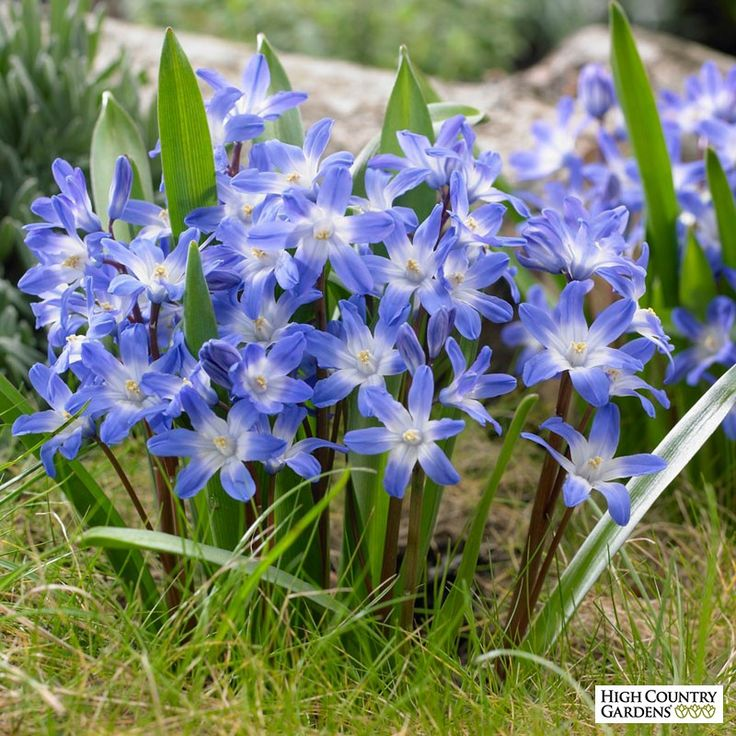 Glory of the Snow Blue Giant (Chionodoxa forbesii) has compact spikes of white eyed, bright blue flowers in early spring. Deer resistant and perennial.