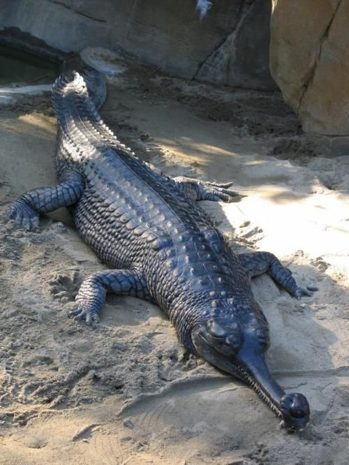 The gharial (Gavialis gangeticus), also known as the gavial, and the fish-eating crocodile, is a crocodilian of the family Gavialidae, native to the Indian Subcontinent. The global gharial population is estimated at less than 235 individuals, which are threatened by loss of riverine habitat, depletion of fish resources and use of fishing nets.