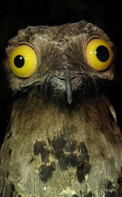 Potoo, any of 7 species of solitary, nocturnal insectivore birds of tropical Central and South America. Potoos range from 21–58 cm in length. They have large heads for their body size and long wings and tails. The large head is dominated by a large, massive, broad, short bill and enormous eyes. The brown plumage resemble tree bark. During the day, the birds sleep, vertically perched and virtually indistinguishable from the dead branches they roost on.