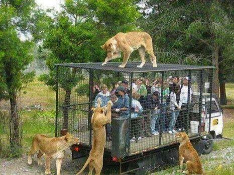 Tüm hayvanat bahçeleri böyle olsa keşke.. İnsanlar kafeste, hayvanlar doğada.