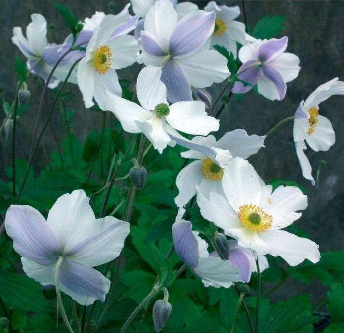 "Anemone ""Wild Swan"": Wild Swan, White Flower, Puree White, Japan Anemones, Gardens Idea, Fall Bloom, Daisies, Anemones Wild, Gardens Plants"