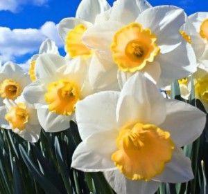 #Цветы_в_доме зимой #Посадка_нарциссов