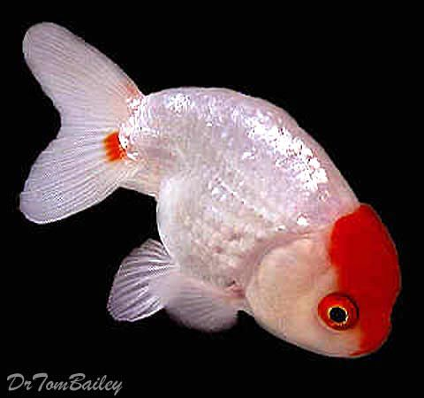 Red and White Ranchu Goldfish for sale