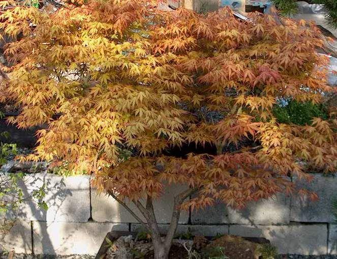 Acer Palmatum U0027Katsurau0027 · Patio TreesAcer ...