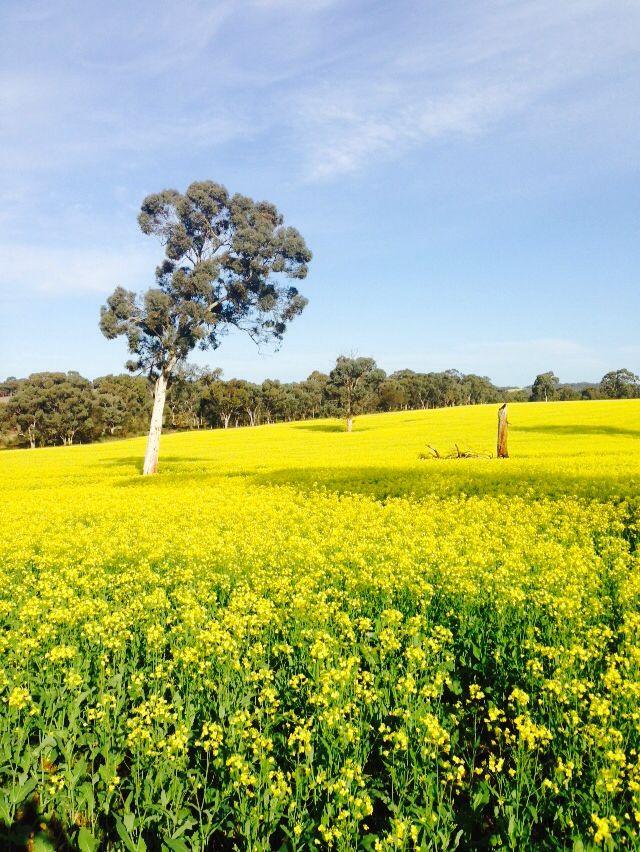 Spring time 2015. Canola Farm at York Western Australia