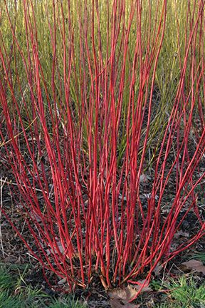 Cornus alba 'Sibirica' - dogwood. Useful for winter stem colour. Could be used in large border at the front or in side boundary bed. In spring/summer it is a plain looking shrub. Autumn colour and quintet stems are the special features of this one!